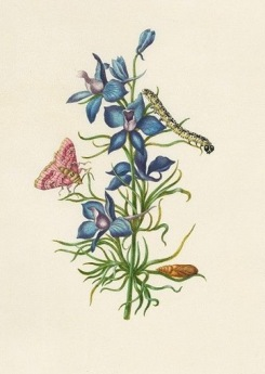 Merian, Larkspur and Pease Blossom Moth